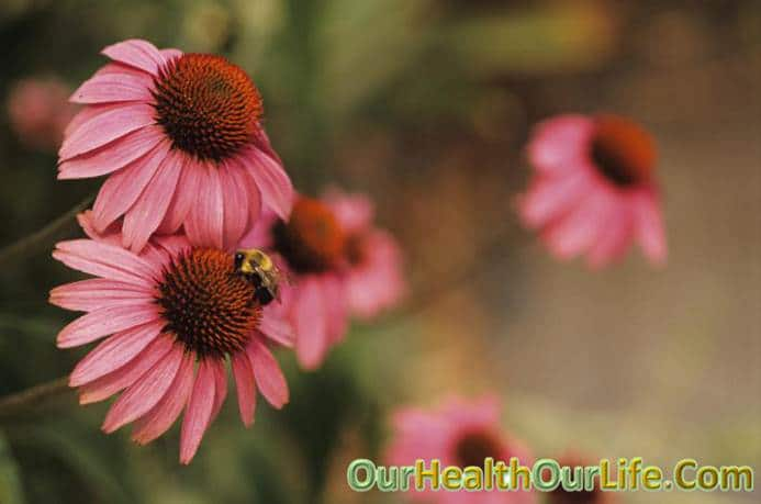 Echinacea in pregnancy